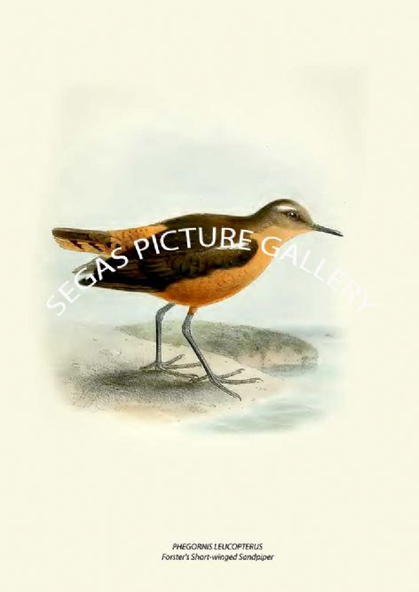 Fine art print of the PHEGORNIS LEUCOPTERUS - Forster's Short-winged Sandpiper by Henry Seebohm (1887)